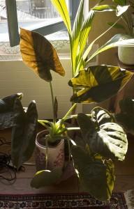 cijela biljka