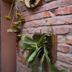 Sobna biljka - jelenov rog