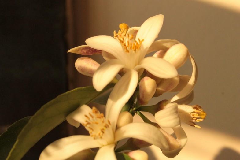 limun mayer cvijet