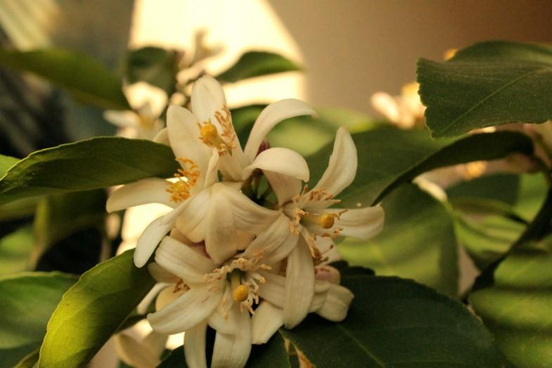 limun mayer cvijet1